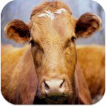 Sığır Çok, Et Yok