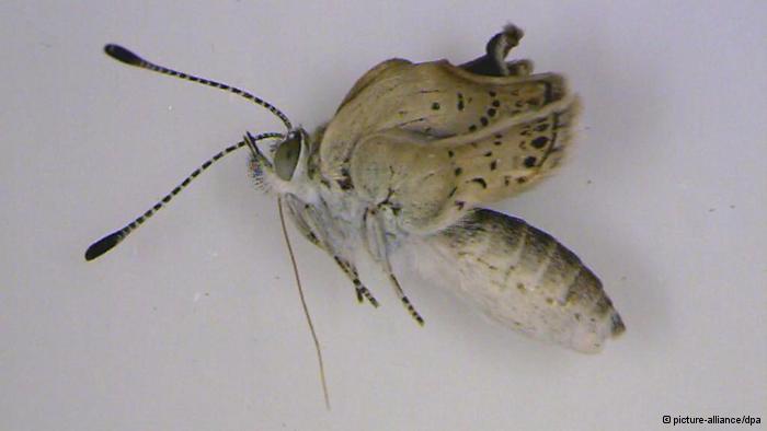 Fukişima'nın Mutant Kelebekleri